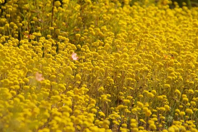 Sudafrica, fiori gialli