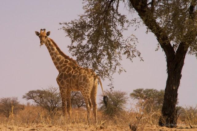Sudafrica, giraffa