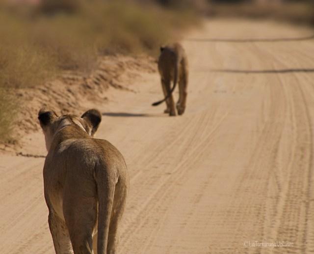 Sudafrica, i leoni se ne vanno
