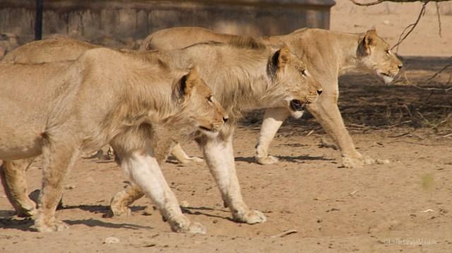 Sudafrica, i tre leoni