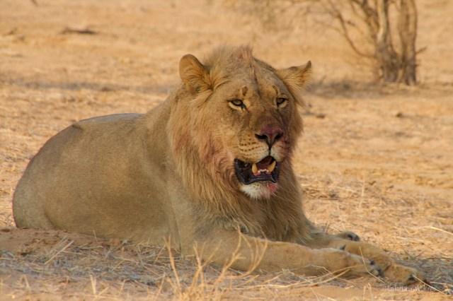 Sudafrica, leone soddisfatto