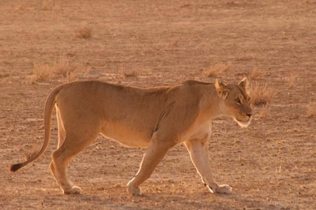 Sudafrica, leonessa