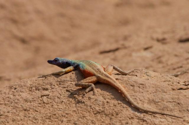 Sudafrica, lucertola