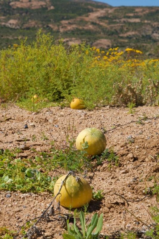 Sudafrica, meloni nara