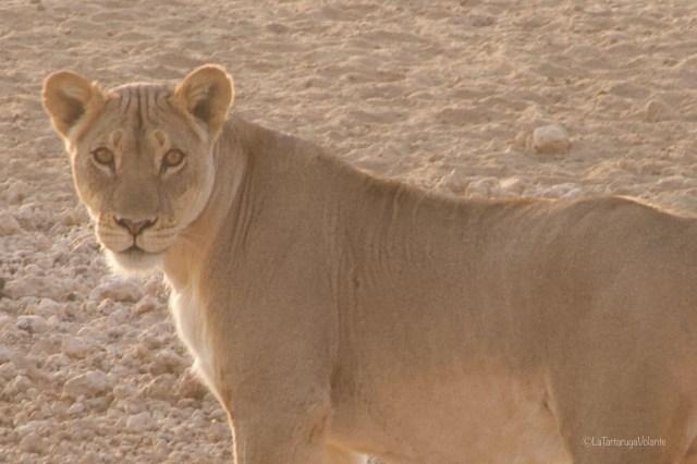 Sudafrica, primo piano di leonessa