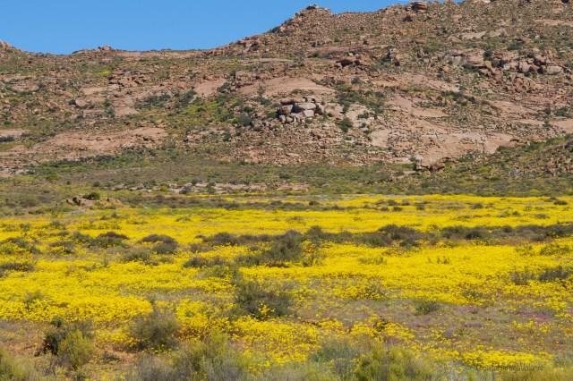 Sudafrica, verso l oceano i fiori gialli