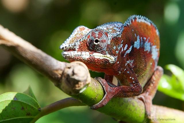 Madagascar, primo piano di camaleonte rosso
