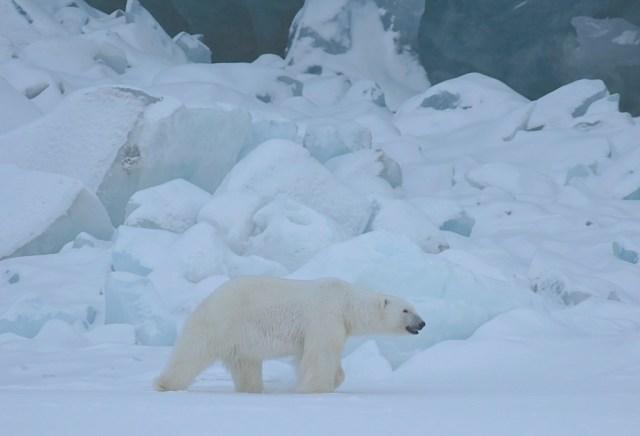 Viaggi dei sogni, orso bianco