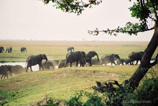 elefanti al Chobe