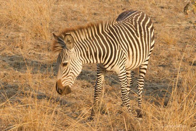 Viaggio in Botwsana, zebra