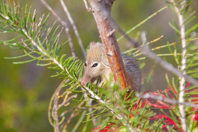 Honey possum in the tree 2