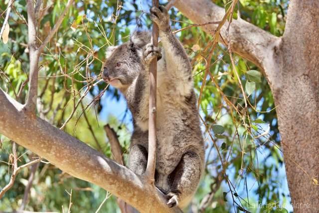 Koala in movimento
