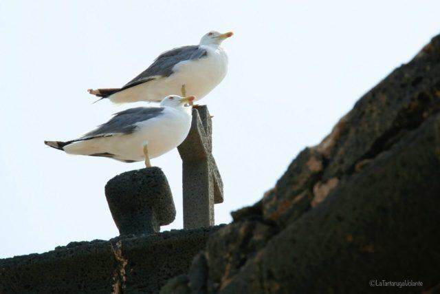 Lanzarote, i due gabbiani