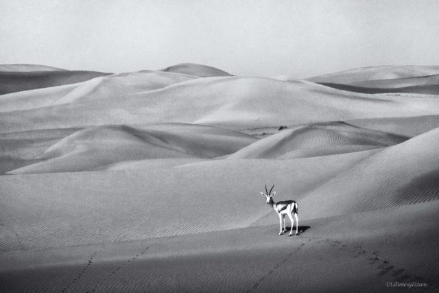 Bianco e Nero, antilope a Dubai