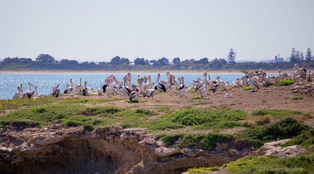 pellicani a penguin island
