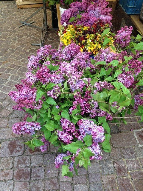 fragrant lilac from the market