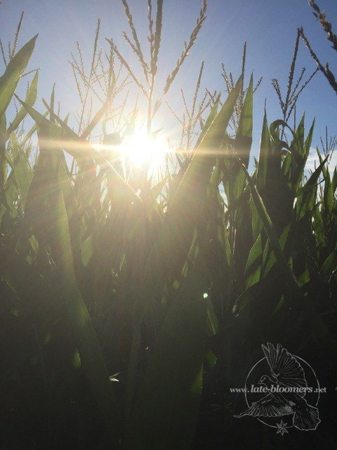 sun rays in a corn field