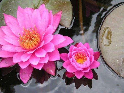 Symbole de la zénitude : les fleurs de lotus