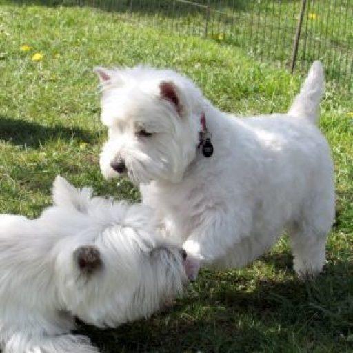 Available Puppies – La Terra Dios