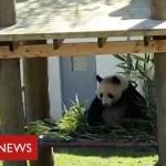 Coronavirus: it's social distancing for the pandas and chimps at Edinburgh Zoo – BBC Information