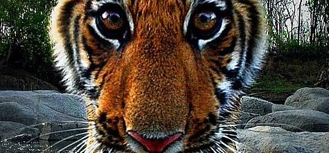 Spy_tiger