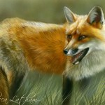 Glance Back - Red Fox, 5″x7″, watercolor on board, ©Rebecca Latham