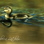"Afternoon Swim - Mallard Duckling, 5""x7"", watercolor on board, ©Rebecca Latham"