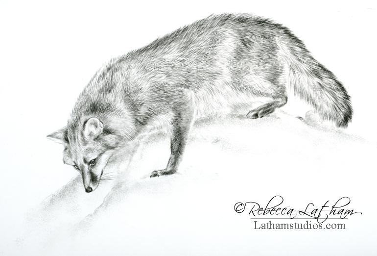 Investigation - Gray Fox, 8in x 11in, Graphite on board, ©Rebecca Latham
