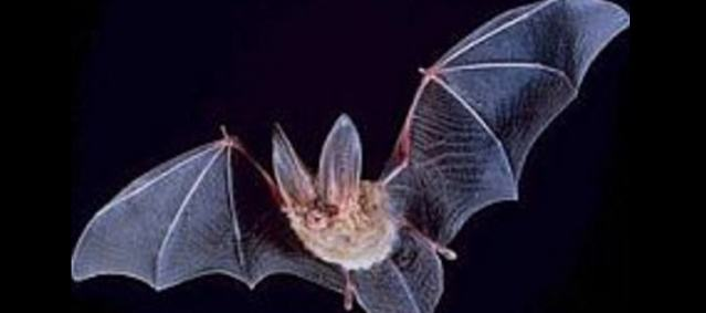 In Chile leben elf Arten von Fledermäusen zum Teil sehr nahe an menschlichen Behausungen