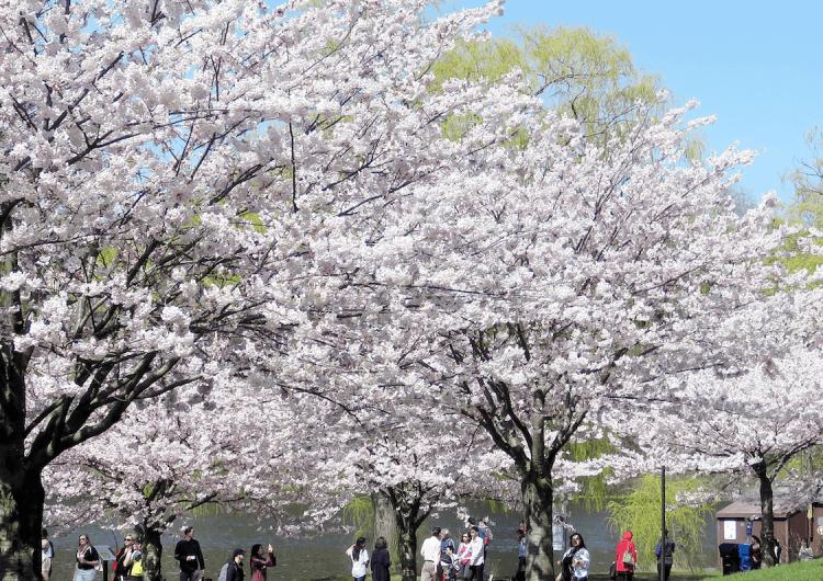 High Park cerrará al público para evitar que la gente se reúna a ver los árboles de cerezo