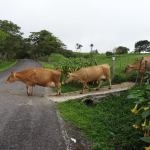 cows Journey to the Clouds Hiking in Panama The Expat Life The Great Outdoors