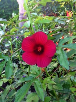 Hibiscus In Boquete, our Garden of Eden . . . Panama The Expat Life The Great Outdoors