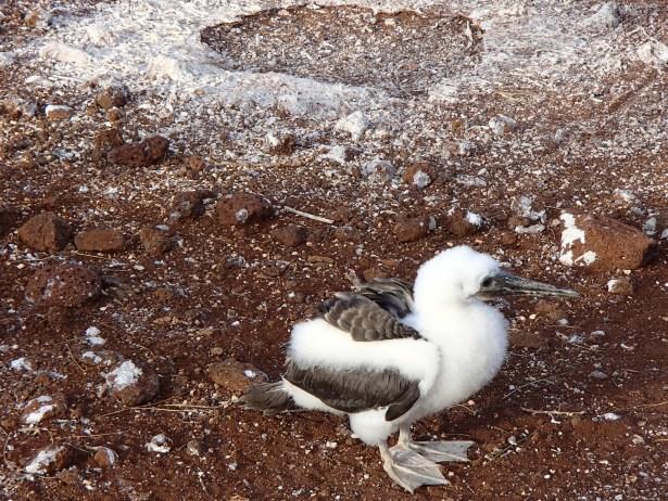Baby-Booby-3 The Galapagos Islands - Birder Heaven Ecuador Galapagos Birds Galapagos Islands