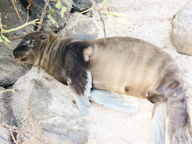 Fat-sea-lion-baby The Galapagos Islands - Pinniped Paradise! Ecuador Galapagos Islands Panama