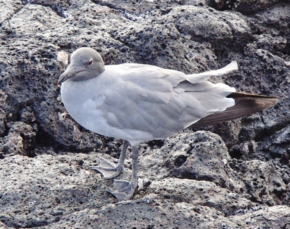 Lava-Gull-2 The Galapagos Islands - Birder Heaven Ecuador Galapagos Birds Galapagos Islands
