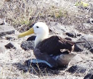 Nesting-Albatross The Galapagos Islands - Birder Heaven Ecuador Galapagos Birds Galapagos Islands