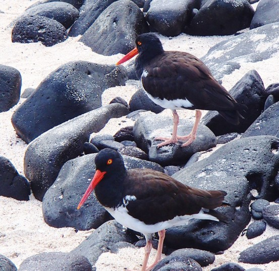 Oystercatchers The Galapagos Islands - Birder Heaven Ecuador Galapagos Birds Galapagos Islands