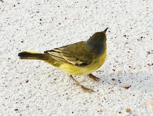 Yellow-Warbler The Galapagos Islands - Birder Heaven Ecuador Galapagos Birds Galapagos Islands