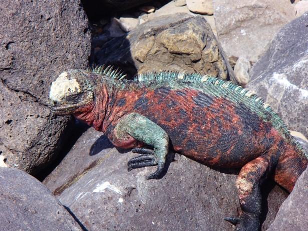 Galapagos-Marine-Iguana-Floreana One More Galapagos Post: A Reptilian View Ecuador Galapagos Birds