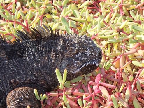 Galapagos-Marine-Iguana-Santa-Cruz One More Galapagos Post: A Reptilian View Ecuador Galapagos Birds