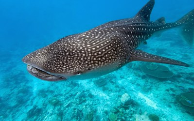 whale_shark_picture-300x188 Isla Holbox, a Mexican Jewel Mexico