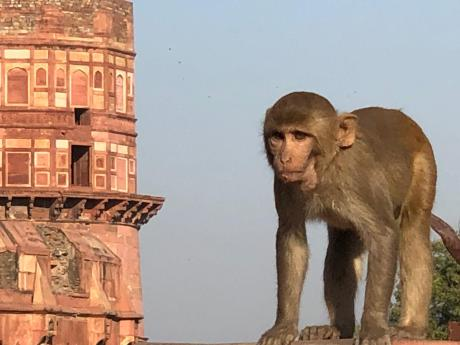 Blog-Monkey2-copy-1024x768 Guest Post: Tiger Safari in Ranthambore National Park India