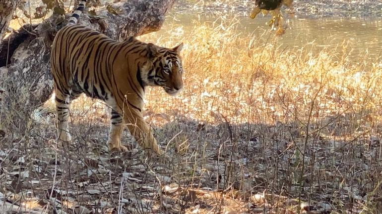 Blog-Tiger-copy-1024x576 Guest Post: Tiger Safari in Ranthambore National Park India