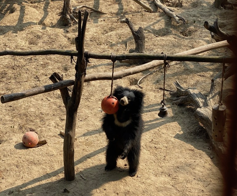 Ginny-Enrichment-Ball-1024x848 Guest Post: The Sloth Bears of India's Wildlife SOS India