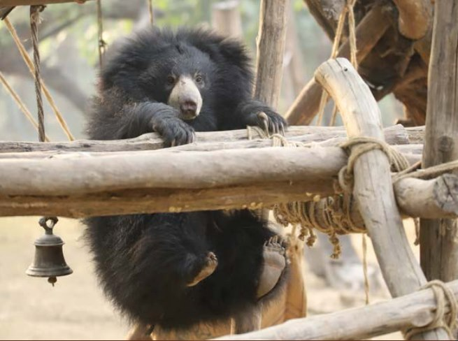 Ginny-Play Guest Post: The Sloth Bears of India's Wildlife SOS India