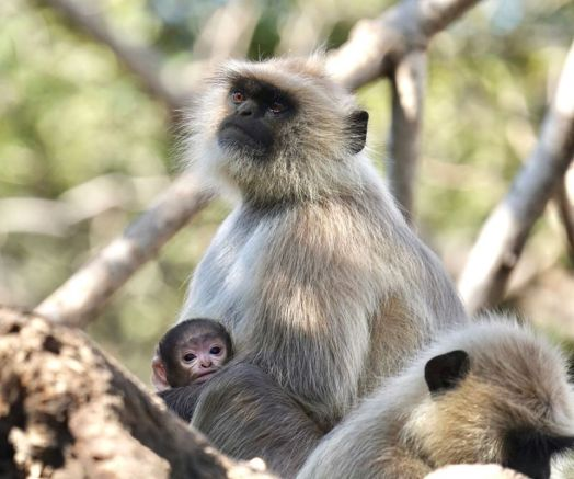 Wes-black-faced-langur Guest Post: Tiger Safari in Ranthambore National Park India