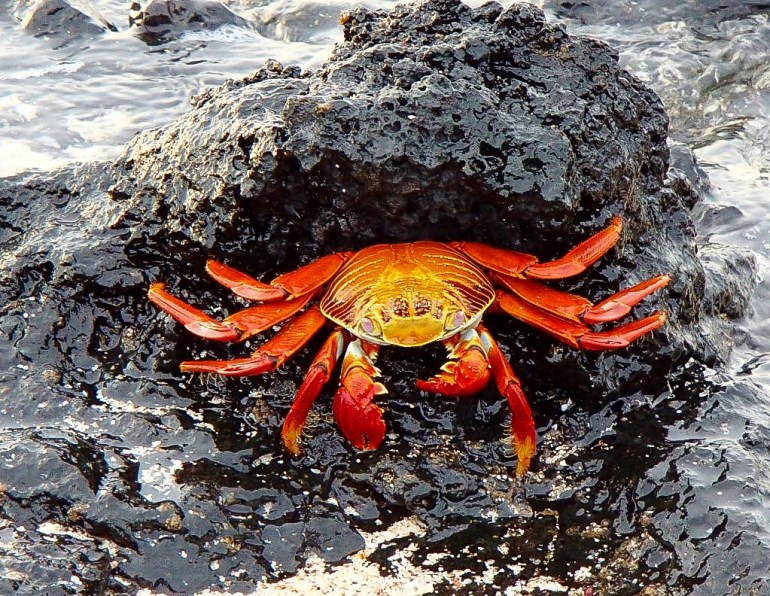 crab Our Best of the Galapagos Islands Galapagos Islands