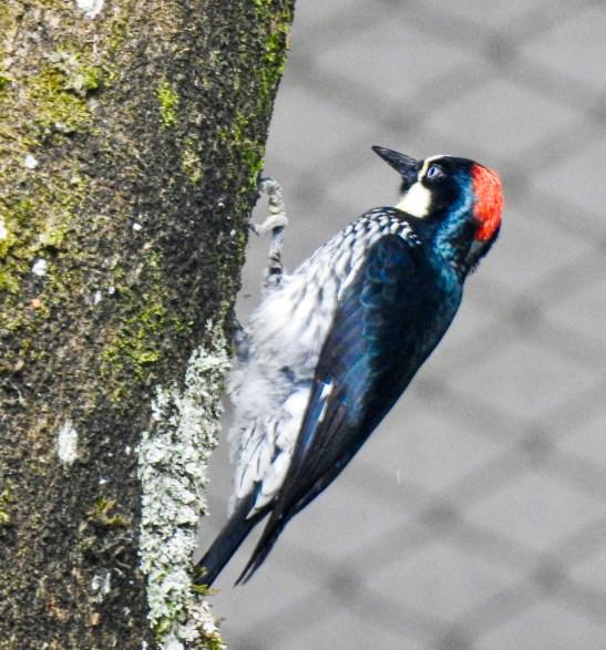 DSCN2472-953x1024 Backyard Birds! Colombia The Great Outdoors