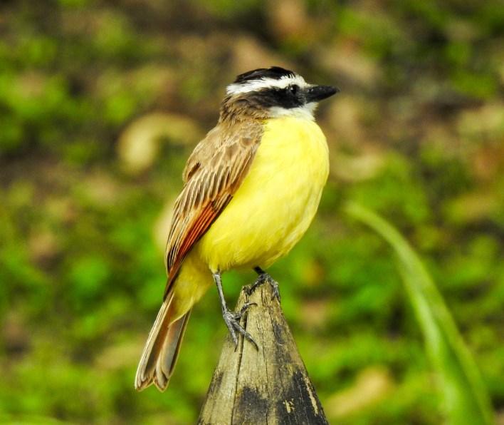 DSCN2473-1024x862 Backyard Birds! Colombia The Great Outdoors