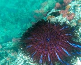 Crown of thorns starfish